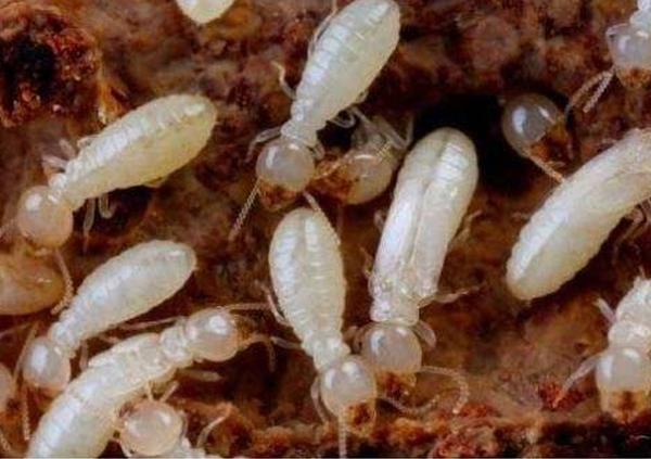 房屋建筑中為何會出現白蟻?