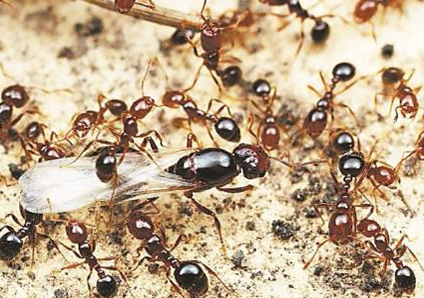 紅火蟻有哪些危害
